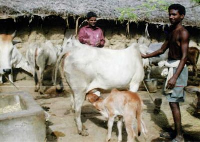 2010---First-Gir-calf-from--A.I